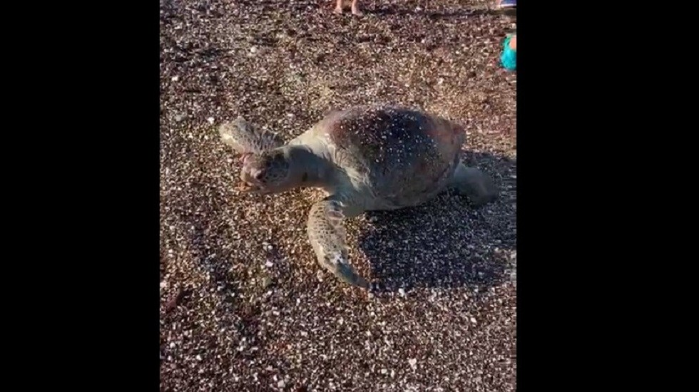 Grupo México niega muerte de animales por derrame de ácido sulfúrico - Tortuga marina muerta en la playa San Francisco, en San Carlos Nuevo Guaymas. Captura de pantalla