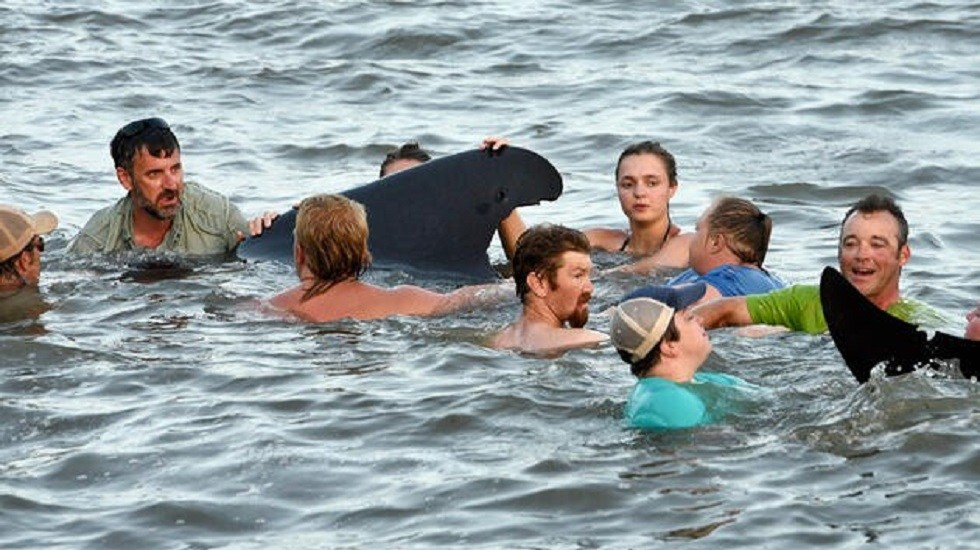 Mueren 20 de 50 ballenas varadas en Islandia - Auxilio a ballenas en Islandia. Foto de finansgundem