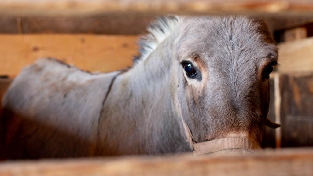 Encarcelan a burro en comunidad de Zimatlán, Oaxaca. Noticias en tiempo real