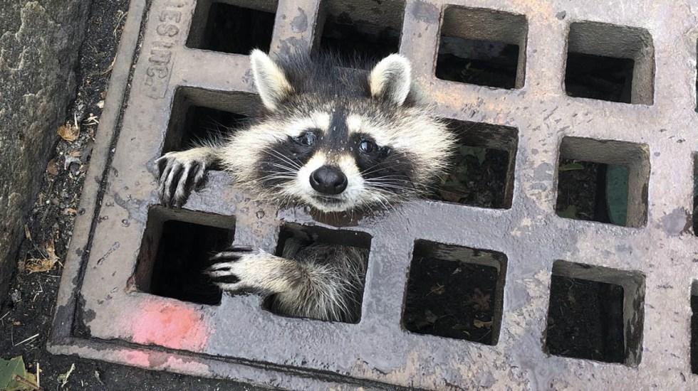 Bomberos liberan a mapache atorado en rejilla en Massachusetts - Mapache atorado rescate