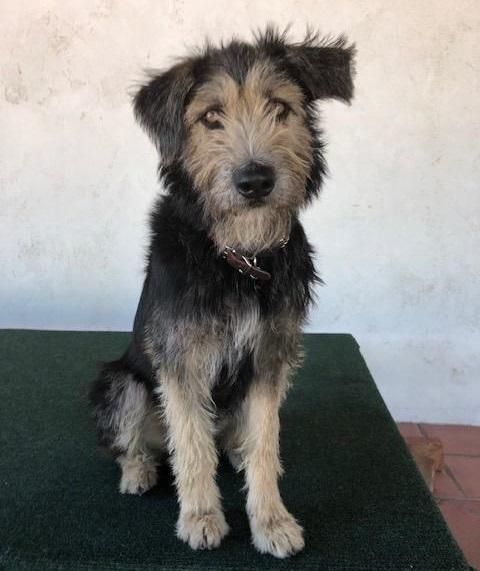 Monte, perro cruza de Terrier. Foto de EFE
