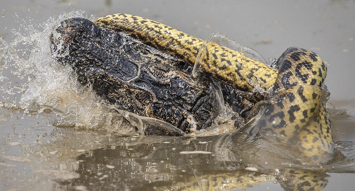 Captan épica pelea entre anaconda y caimán — VIRAL