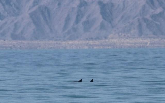Avistan seis vaquitas marinas en el Golfo de México - Avistamiento de dos vaquitas marinas en el Golfo de México. Foto de Sea Shepherd