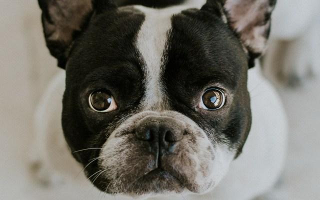 Extraña enfermedad mata a 26 perros en Noruega - Perro Boston Terrier. Foto de Angelos Michalopoulos / Unsplash