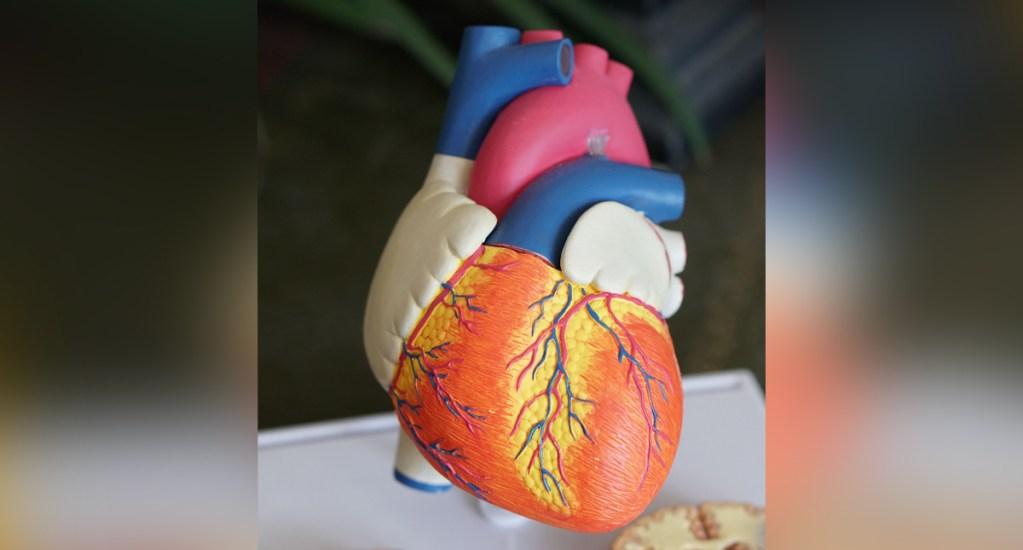 Padecimientos cardiovasculares son la primera causa de muerte en México - Corazón humano