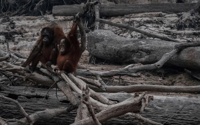 Incendios en Indonesia dejan sin hogar a orangutanes - Foto de Getty