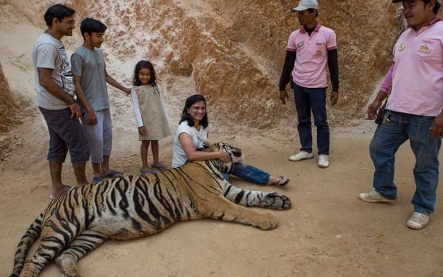 Mueren 86 de 147 tigres rescatados de templo budista - Los monjes ganaron hasta 3 mdd al año por dejar que turistas convivieran y se tomaran fotos con tigres sedados. Foto de Al Jazeera