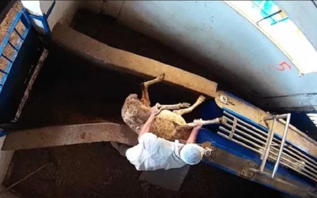 #Video Denuncian brutales agresiones animales en matadero de Madrid - Maltrato en matadero de Madrid. Foto de Equalia