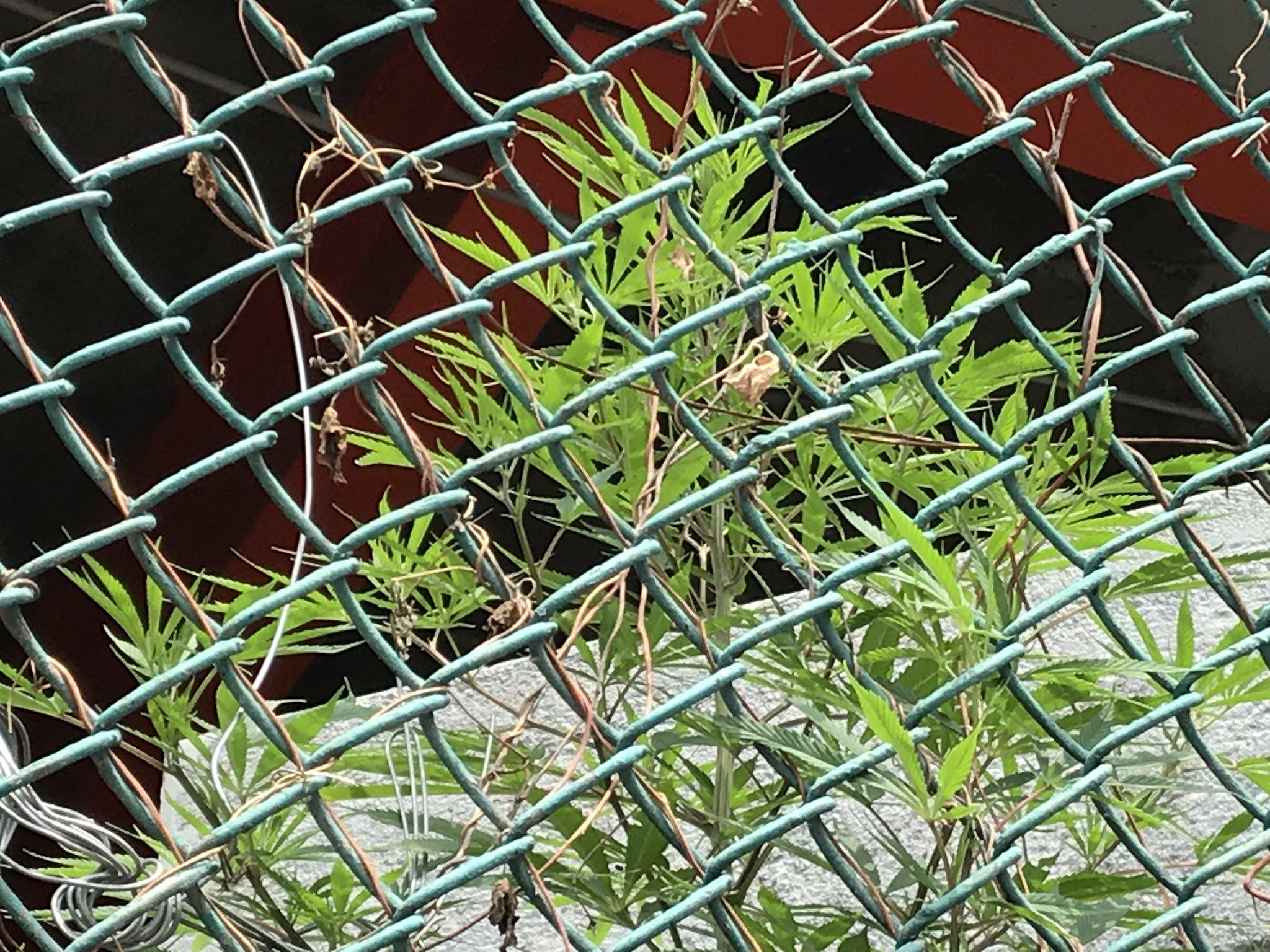 Encuentran planta de mariguana en estacionamiento del AICM