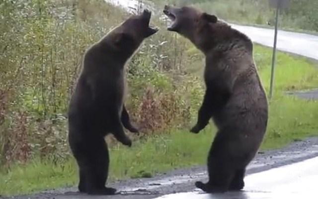 #Video Dos osos pelean en carretera de Canadá - Captura de pantalla