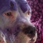 Rescatan a pitbull maltratada en Iztapalapa