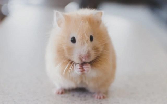 Estudio comprueba que las ratas aprenden a jugar a las escondidas - Foto de Ricky Kharawala @sweetmangostudios