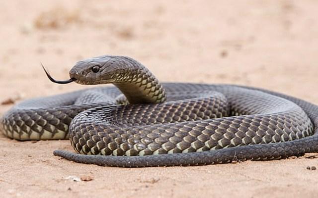El camuflaje de la serpiente más venenosa de Australia - serpiente venenosa