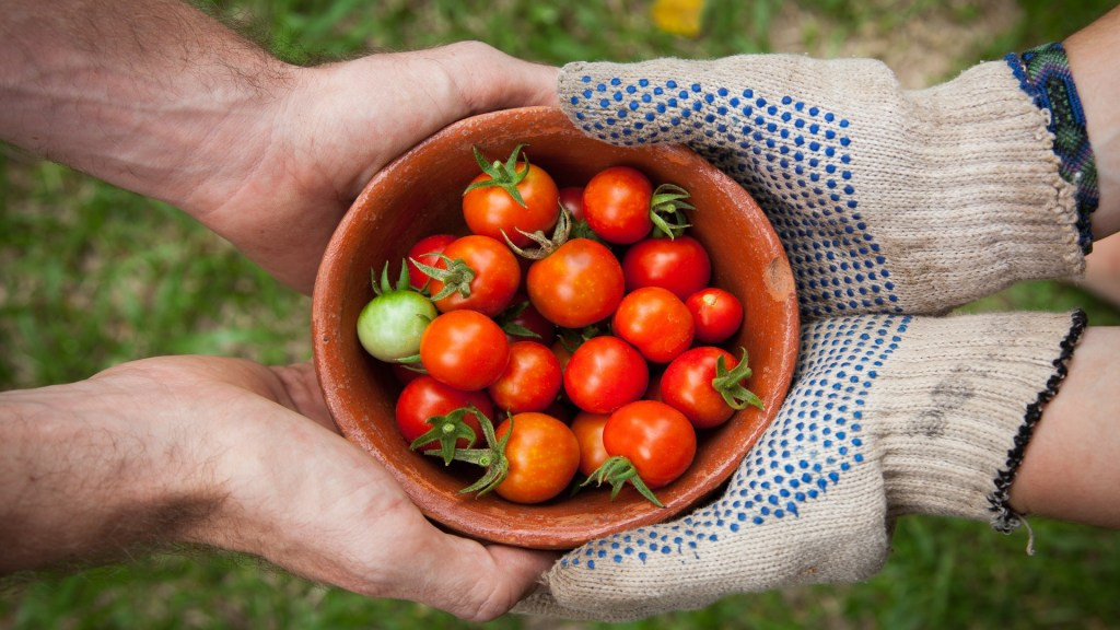 Un 14% de los alimentos se pierden de la cosecha a la distribución - Cosecha de tomates. Foto de Elaine Casap / Unsplash