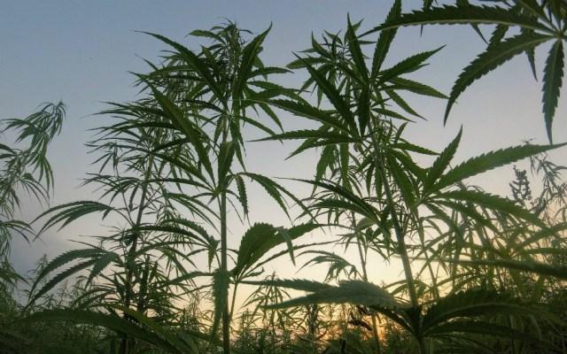 Exigen al Senado proteger a consumidores y productores de mariguana - Foto de Matteo Paganelli para Unsplash
