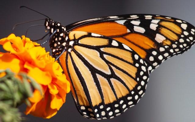 Santuarios de la Mariposa Monarca en Michoacán abrirán en noviembre - Mariposa Monarca. Foto de Kathy Servian / Unsplash