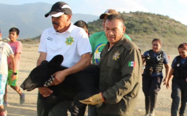 Capturan oso adulto en Saltillo - Foto de @MedAmbienteSalt