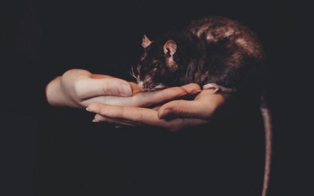 Logran ratones más longevos y con menos probabilidades de cáncer - Foto de freestocks.org / Unsplash