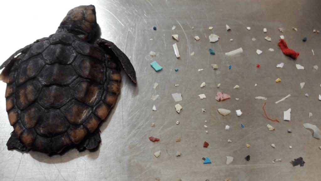 Muere tortuga bebé que comió 104 piezas de plástico - Foto de Facebook