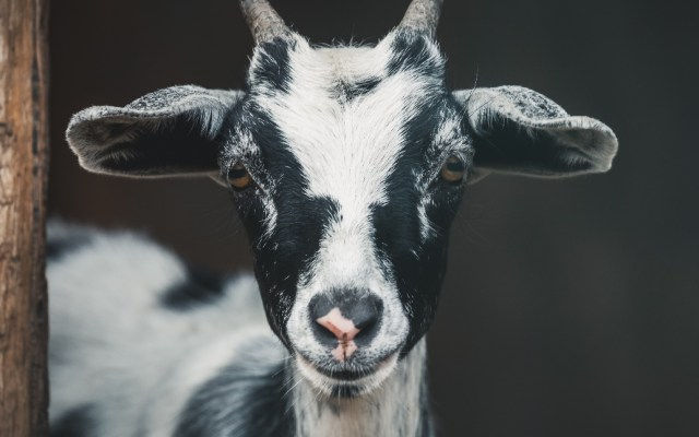 Cabras evitaron propagación de incendios en California - Cabra cabras animales