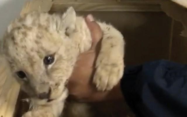 #Video Guardia Nacional rescata a cachorro de león enviado por paquetería - Foto de Guardia Nacional