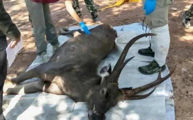 Hallan muerto a ciervo tras ingerir siete kilos de basura en Tailandia - ciervo Tailandia