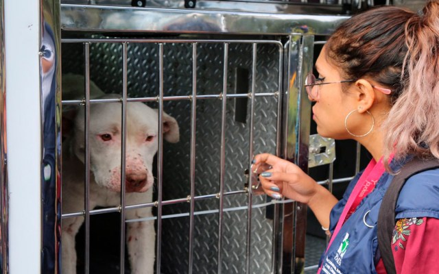 Logran primera prisión preventiva por maltrato animal en la Ciudad de México - Perra Pitbul resguardada por la PAOT por maltrato animal. Foto de @PAOTmx