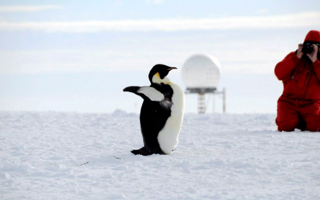 Nueva alerta ante posible extinción del pingüino emperador - Foto de EFE