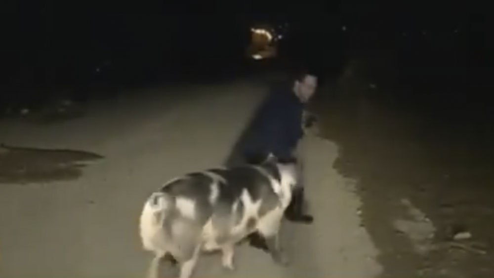 Reportero huye de cerdo que