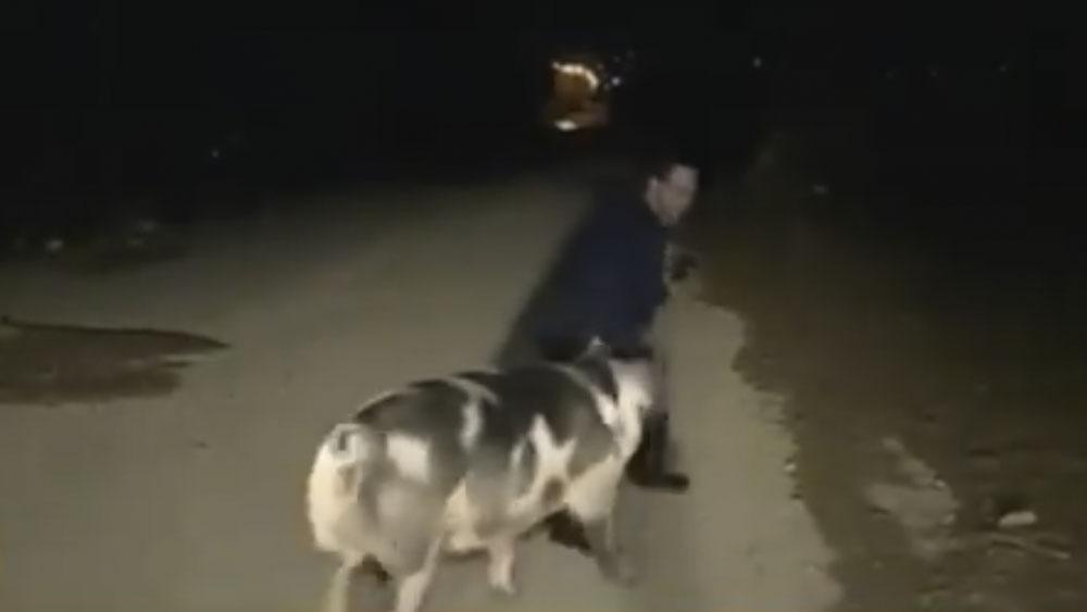 #Video Cerdo muerde a reportero durante transmisión en vivo - reportero cerdo
