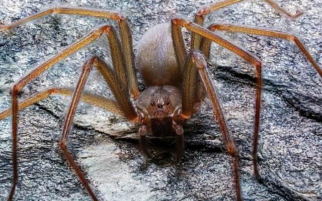 Descubren nueva especie de araña violinista, primera originaria del Valle de México - araña violinista