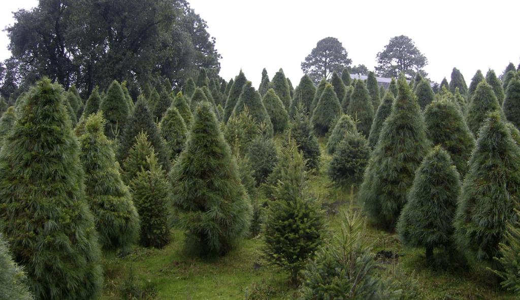 Cambio climático provoca incremento de plagas en árboles de Navidad - Foto de EFE
