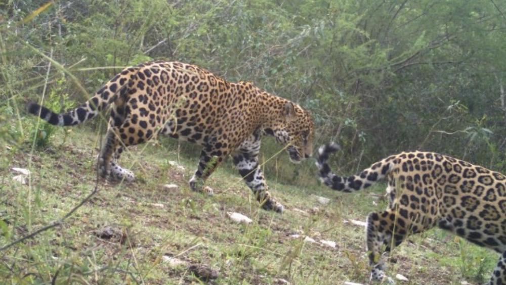 Reportan avistamiento de felinos en peligro de extinción en Tamaulipas - Foto de @CONANP_mx