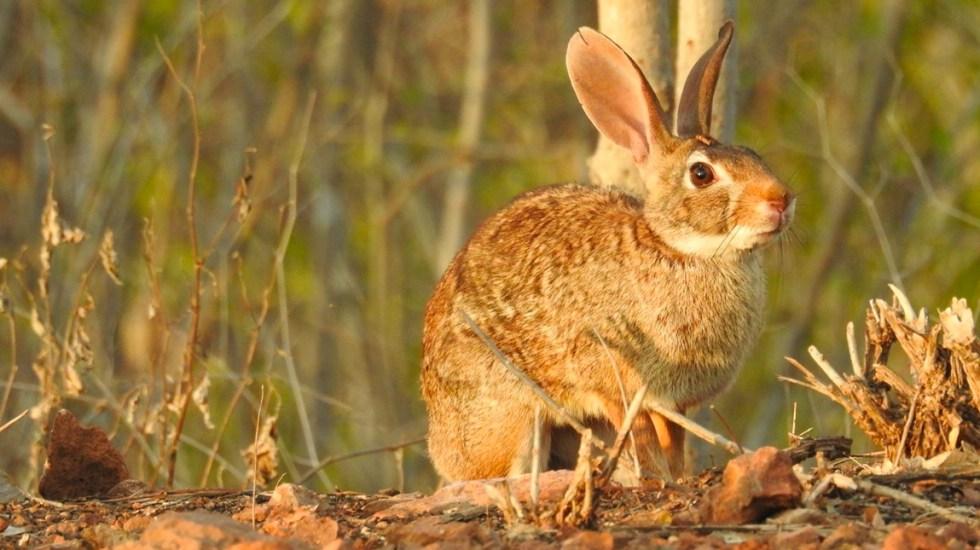 """Catalogan por primera vez """"en peligro"""" al conejo de monte - Conejo de monte"""