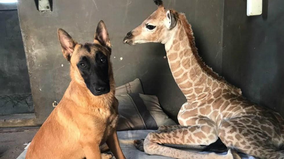 Muere jirafa abandonada por su madre y cuidada por perro en Sudáfrica - Foto de The Rhino Orphanage