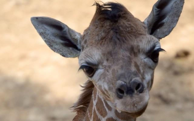 Nace otra jirafa en el Zoológico de Chapultepec - Nueva jirafa bebé del Zoológico de Chapultepec. Foto de Sedema