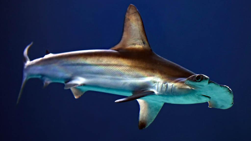 Tiburón martillo en peligro crítico de extinción - Tiburón martillo animal mar