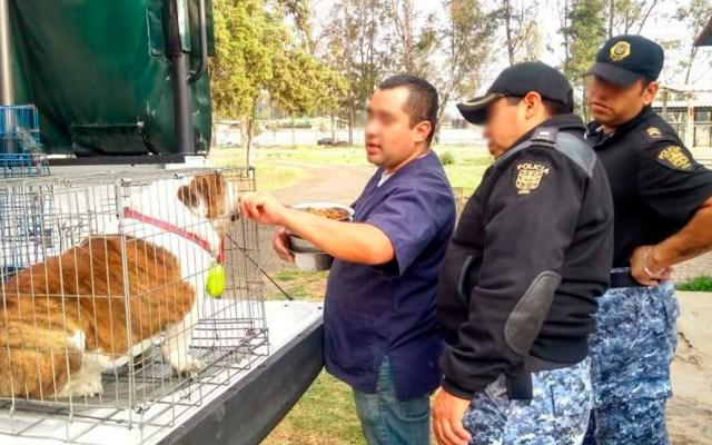 """Rescatan a """"Emilio"""" el perro bulldog - Aseguramiento de Emilio por parte de la policía capitalina. Foto Especial"""