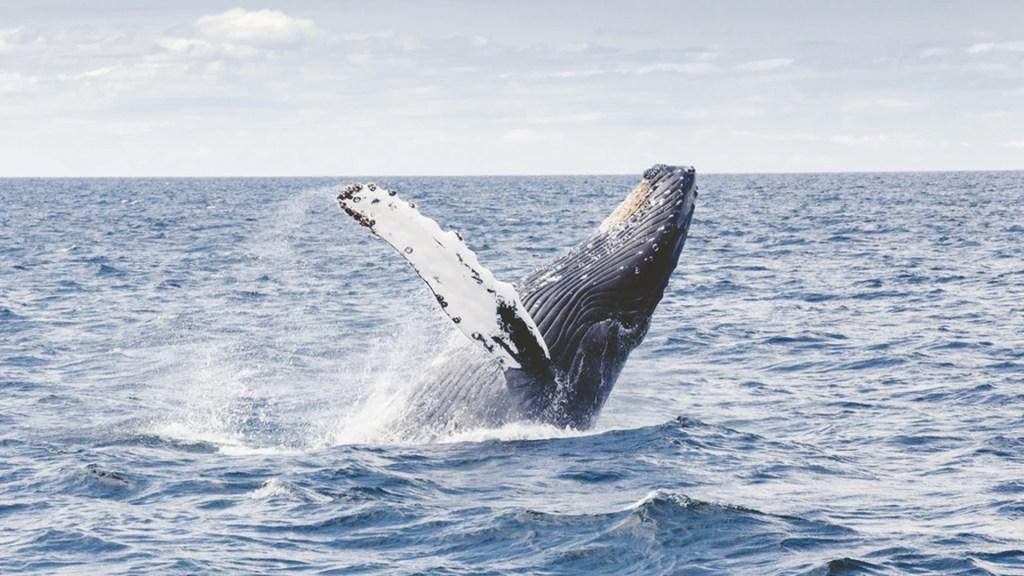 Realizan vigilancia de actividad de ballenas en mares mexicanos - Foto de Thomas Kelley @thkelley