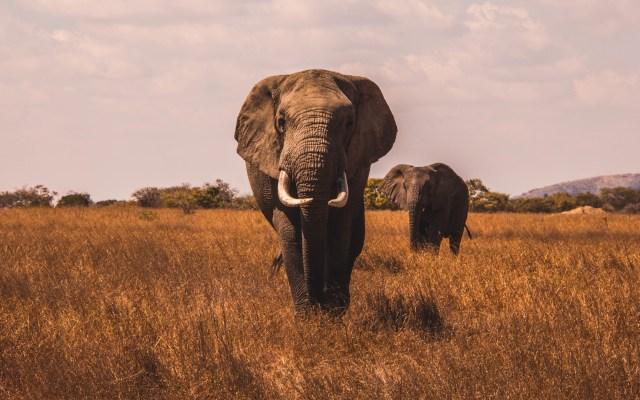Primer antepasado de los animales es un 'gusano' - Elefantes. Foto de AJ Robbie / Unsplash