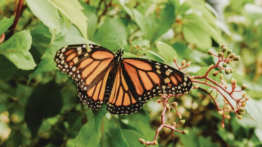 Mariposas monarca comienzan viaje de regreso a EE.UU. - Foto de Roberto Carlos Roman @srcharls