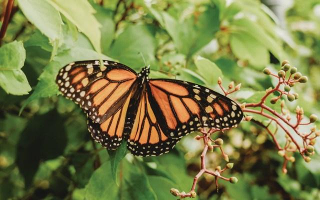 Baja 53 por ciento la ocupación de la mariposa monarca en bosques mexicanos - Foto de Roberto Carlos Roman @srcharls