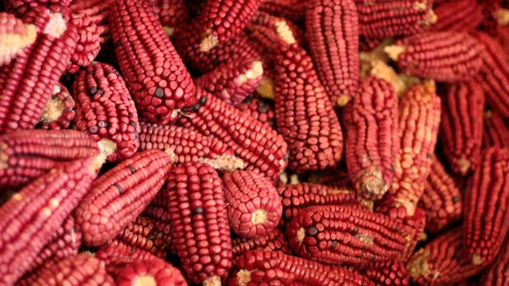 Publican decreto que protege al maíz nativo en México - maíz nativo