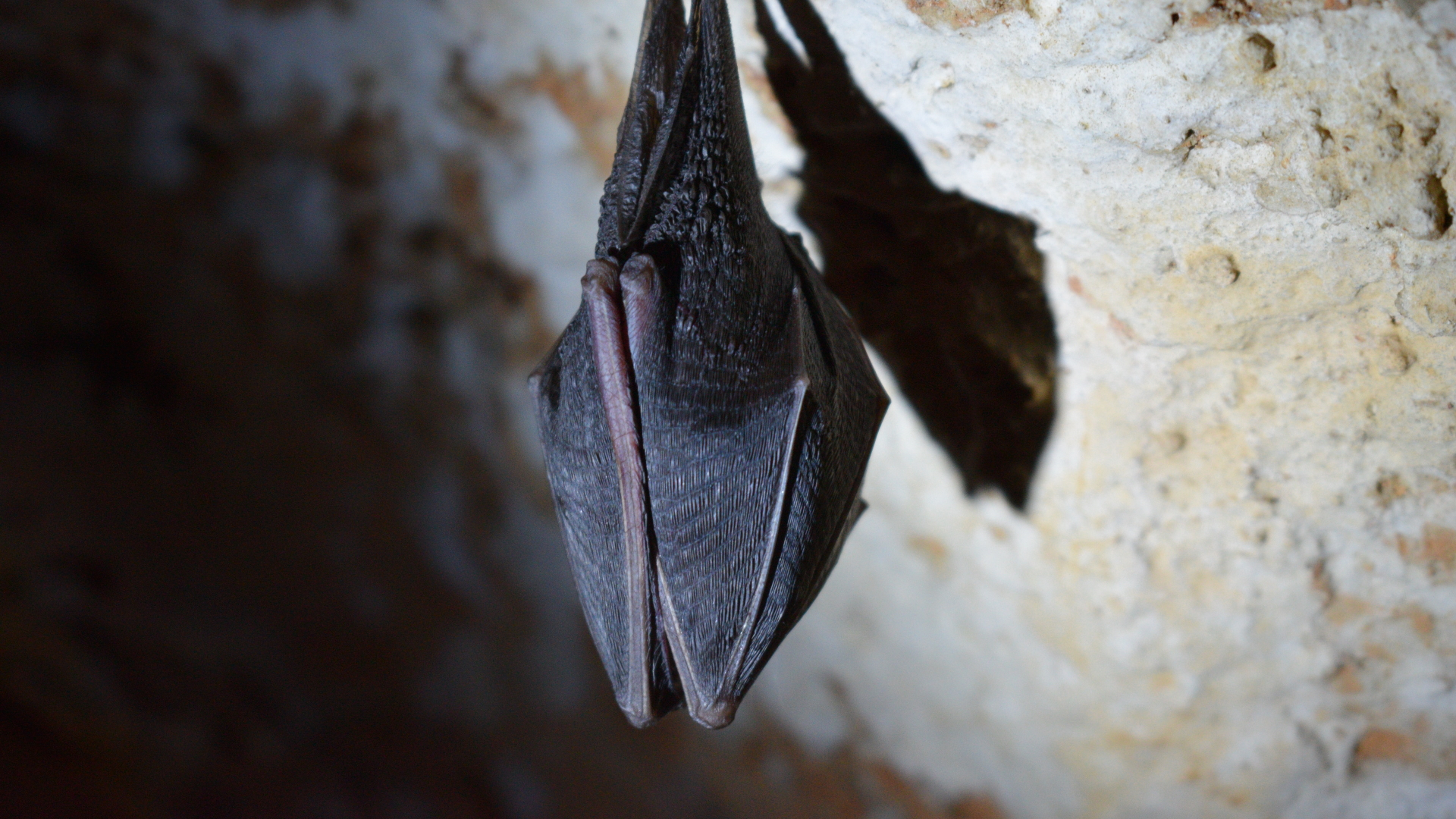 Murciélago animal