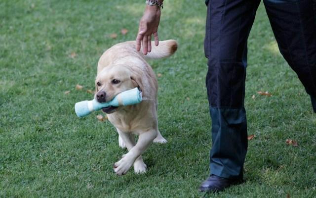 Universidad de EE.UU. investigará si perros pueden detectar el COVID-19 - perros coronavirus COVID-19