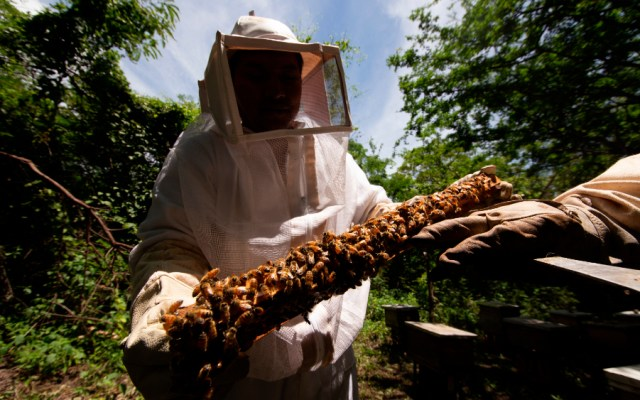 Activa México vigilancia epidemiológica por avispón gigante - Foto de EFE