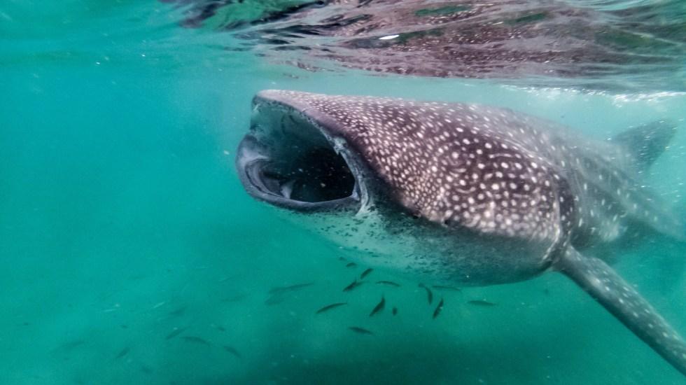 Estudio halla que dieta del tiburón ballena en México incluye microplásticos - Tiburón ballena. Foto de Matthew T Rader / Unsplash