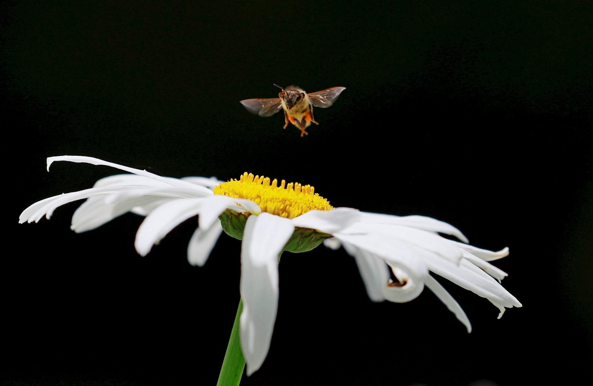 Abejas polinizan flores