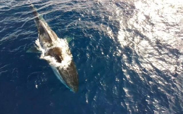 Avistan a ballena de 20 metros que vaga sin cola y desnutrida por la costa italiana - Ballena sin cola en Italia