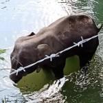 Elefanta muere tras comer piña con explosivos en India